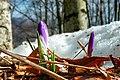 Crocus vernus - Italy.jpg