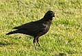 Crow at Marymoor Park.jpg