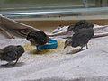 Crypturellus tataupa - Parc des oiseaux 01.JPG
