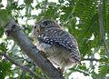 Cuban Pigmy-Owl. Glaucidium sigu. Endemic - Flickr - gailhampshire.jpg