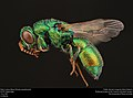 Cuckoo Wasp (Chrysididae from Egypt (36869294333).jpg