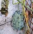 Cucumis metuliferus, b, Pietersburg.jpg