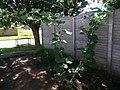 Cucurbita moschata (zapallo espontáneo) hábito guía principal guía secundaria flor femenina F05 dia02 masculinas M09 M10 dia01 pétalos cerrados.JPG