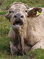 Cud-chewing cow, south of Ferny Knap Inclosure, New Forest - geograph.org.uk - 563528.jpg