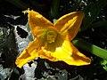 Cuketa-kvet.jpg
