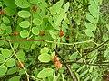 Cup and Saucer Plant Holmskioldia sanguinea by Raju Kasambe DSCF9933 (1) 05.jpg