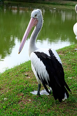 Curious Pelican Bird.jpg