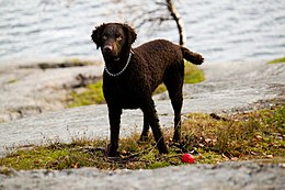 Curley coated retriever5.jpg