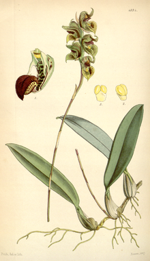 Curtis's Botanical Magazine, Plate 4334 (Volume 73, 1847).png