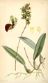 Curtis's Botanical Magazine, Plate 4334 (Volume 73, 1847).png