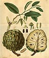 Curtis's botanical magazine (Plate 3095) (8411504084).jpg