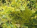 Cuscuta Reflexa Roxb - മൂടില്ലാതാളി 02.JPG