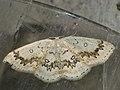 Cyclophora annularia - The Mocha - Кольчатая пяденица кленовая (40262681984).jpg