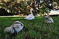 Cygnus olor (Küken2) - Arboretum 2011-07-05 18-09-16.JPG