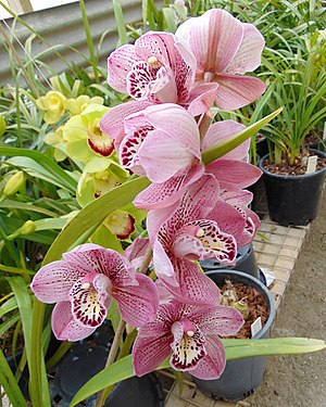 Grex (horticulture) - Image: Cymbidium Kirby Lesh 'Lonsdale'