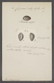 Cypraea staphylea - - Print - Iconographia Zoologica - Special Collections University of Amsterdam - UBAINV0274 088 02 0069.tif