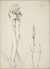 Study of irisses