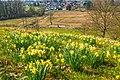 Daffodil Hill (40981585952).jpg