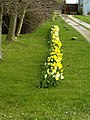Daffodils at Decoy - geograph.org.uk - 730384.jpg