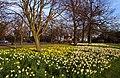 Daffodils in Greenwich Park - geograph.org.uk - 2341187.jpg