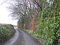 Daffodils line the road, near Broadmoor - geograph.org.uk - 1764534.jpg
