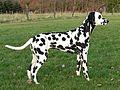 Dalmatinerhündin schwarz.jpg