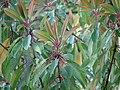 Daphniphyllum macropodum new foliage and flowers.jpg