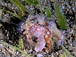 Dardanus pedunculatus (Hermit crab) with anemone covered shell.jpg
