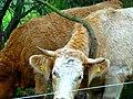 Das Rindvieh und der bescheuerte Ast…. - panoramio.jpg