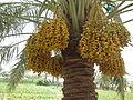 Date Palm - ഈന്തപ്പന 06.JPG
