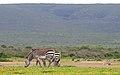De Hoop Nature Reserve, Zebras - panoramio.jpg
