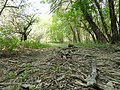 Dead wood on trail in St. Norbert Provincial Park.jpg