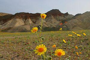 Wildflower - Wildflowers in Death Valley National Park