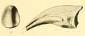 Deinodon horridus phalanx.png
