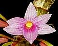 Dendrobium goldschmidtianum Orchi 005.jpg