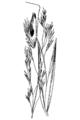 Deschampsia danthonioides HC-1950.png