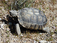 A desert tortoise standing on dry and cracked sand. The shell is faded and abraded.