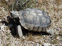 Una tortuga del desierto de pie sobre arena seca y agrietada.  La cáscara está descolorida y desgastada.