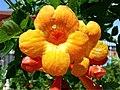 Desert Flower (3384802195).jpg
