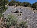 Desert snowberry, Symphoricarpos longiflorus (49108403541).jpg