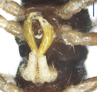 Gonopod - Desmoxytes lingulata