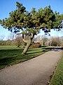 Devonshire Road Rock Gardens, Lonely Pine Tree - panoramio.jpg
