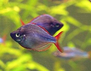 Dwarf rainbowfish (Melanotaenia praecox) at Bo...