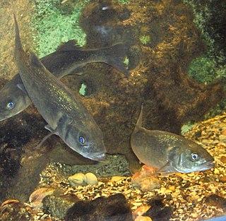 Moronidae sea bass