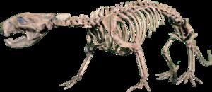 Didelphodon - Cast of Didelphodon skeleton in the Rocky Mountain Dinosaur Resource Center