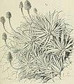 Die Pflanzenwelt Afrikas, insbesondere seiner tropischen Gebiete - Grundzge der Pflanzenverbreitung im Afrika und die Charakterpflanzen Afrikas (1910) (20914177666).jpg