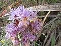 Dilatris ixioides Lam. IMG 7388.jpg