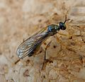 Dioctria linearis. Small Yellow-legged Robber Fly. Asilidae - Flickr - gailhampshire (1).jpg