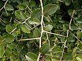 Diospyros dichrophylla 3 ies.jpg