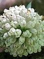 Dipsacus pilosus inflorescence (06).jpg